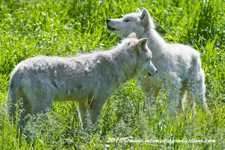 Arctic Wolf Picture-1103