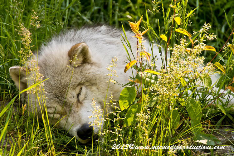Arctic Wolf Picture-1106