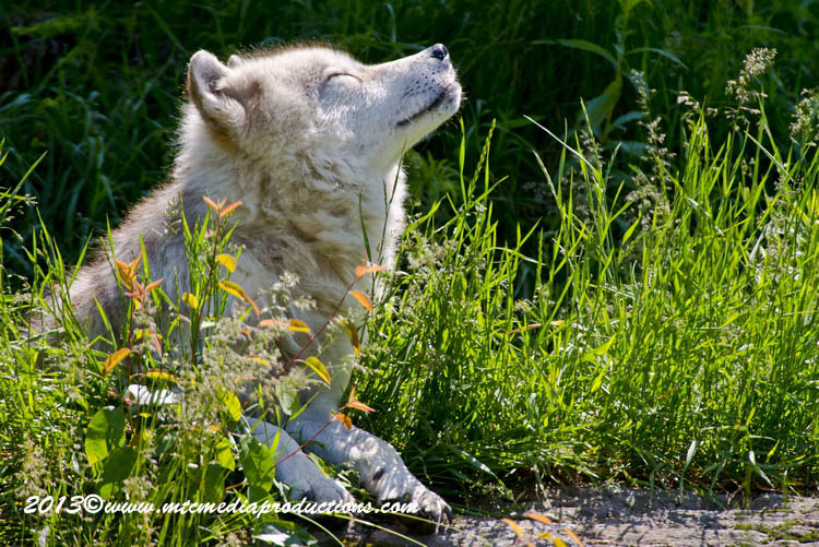 Arctic Wolf Picture-1107
