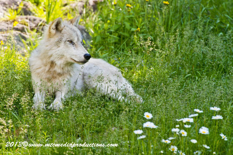 Arctic Wolf Picture-1108