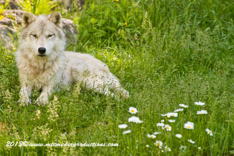 Arctic Wolf Picture-1109