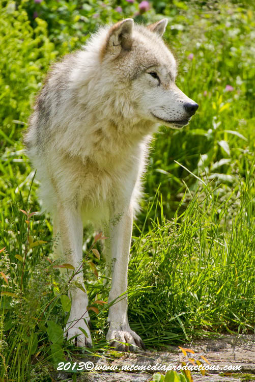 Arctic Wolf Picture-1110