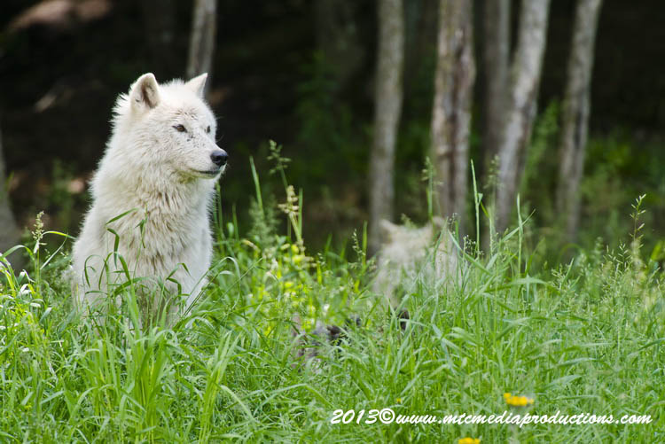 Arctic Wolf Picture-1111