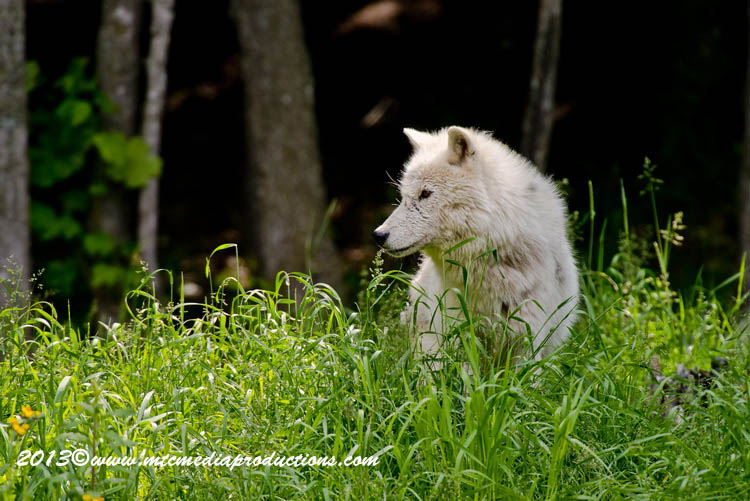 Arctic Wolf Picture-1112