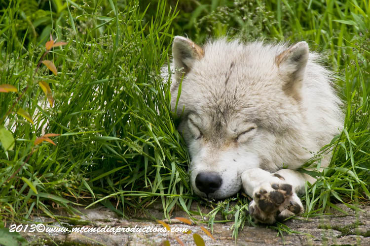 Arctic Wolf Picture-1113