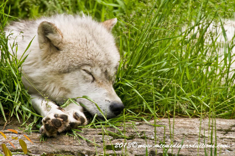 Arctic Wolf Picture-1114
