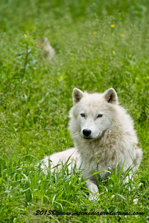 Arctic Wolf Picture-1115