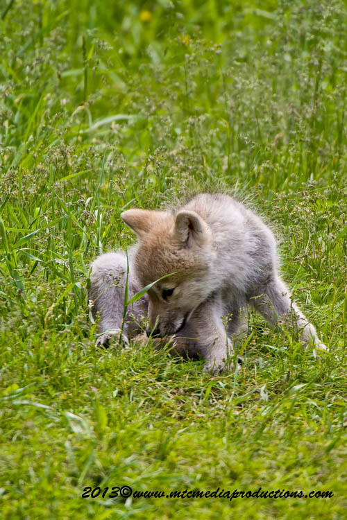 Arctic Wolf Picture-1116