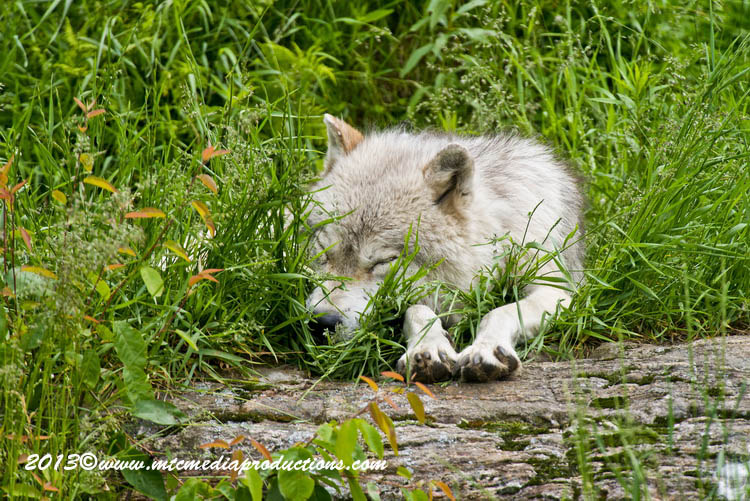 Arctic Wolf Picture-1117