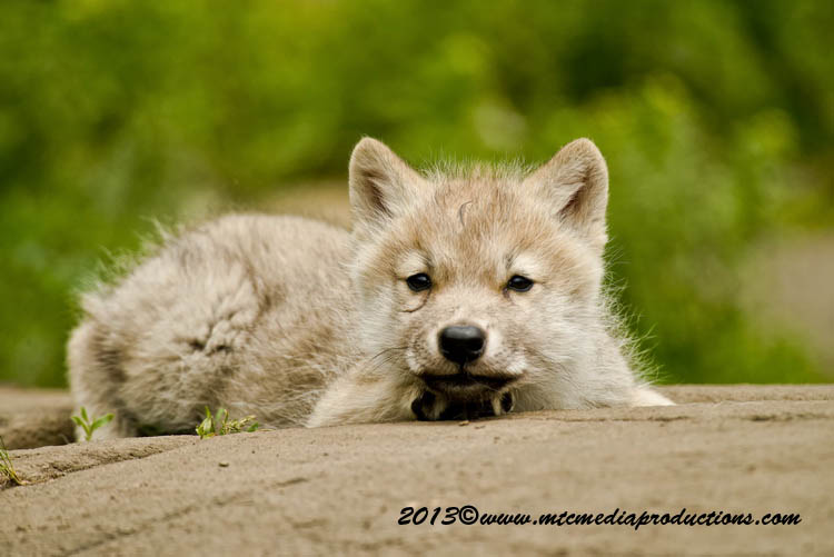 Arctic Wolf Picture-1118