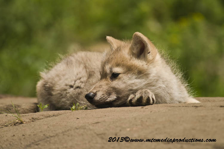 Arctic Wolf Picture-1119