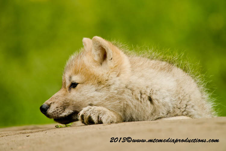 Arctic Wolf Picture-1122