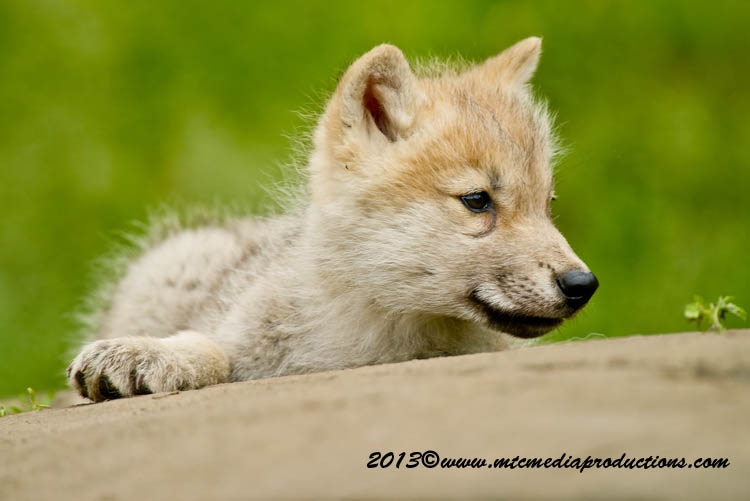 Arctic Wolf Picture-1124