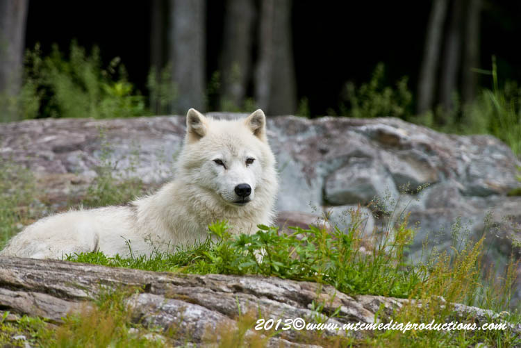 Arctic Wolf Picture-1125