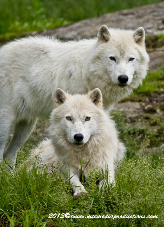 Arctic Wolf Picture-1126