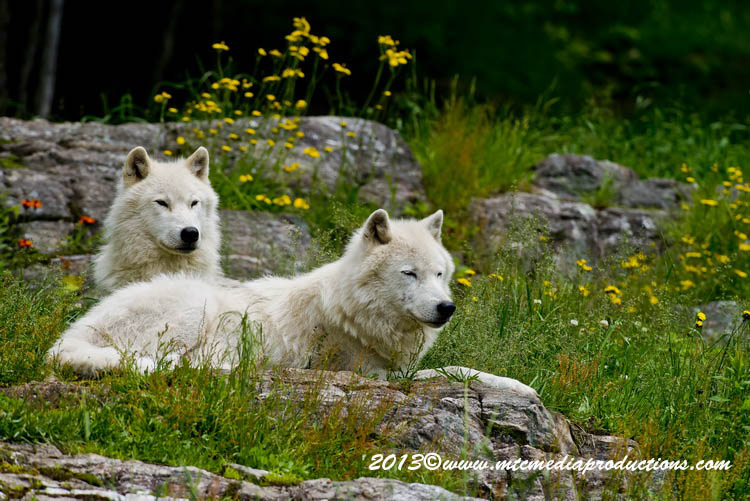 Arctic Wolf Picture-1128