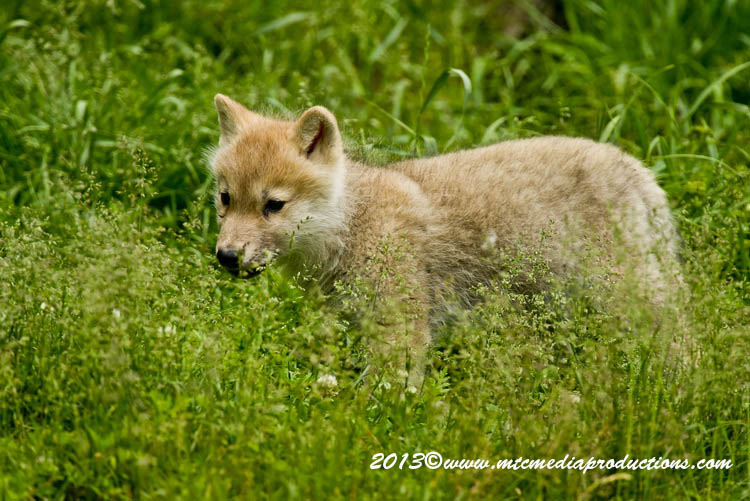 Arctic Wolf Picture-1129