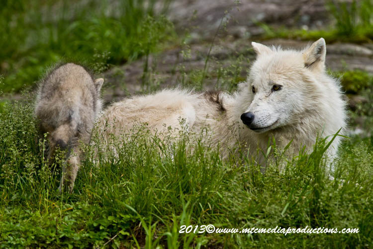 Arctic Wolf Picture-1130