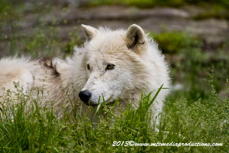 Arctic Wolf Picture-1133