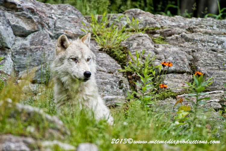 Arctic Wolf Picture-1134