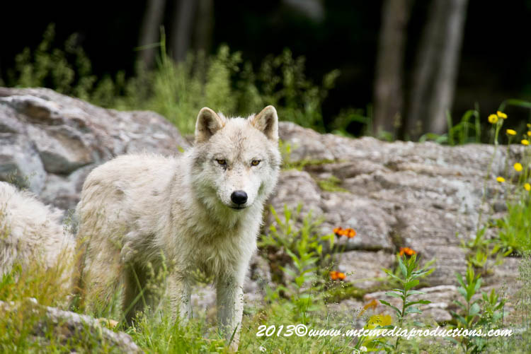 Arctic Wolf Picture-1135