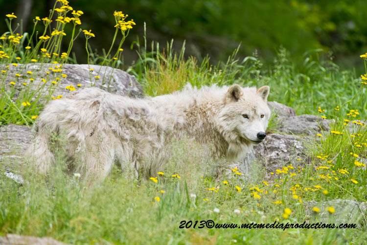 Arctic Wolf Picture-1136