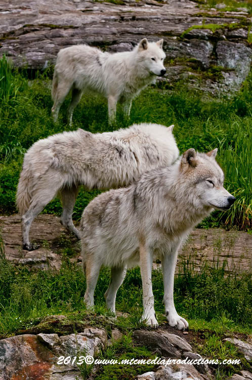 Arctic Wolf Picture-1137