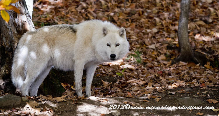 Arctic Wolf Picture-1138