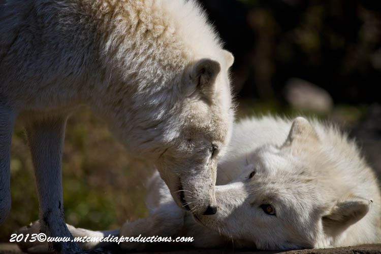 Arctic Wolf Picture-1139