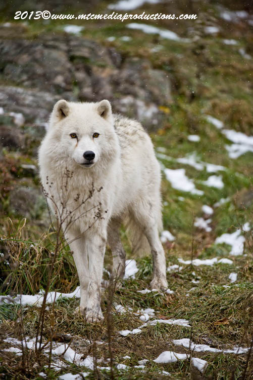 Arctic Wolf Picture-1141