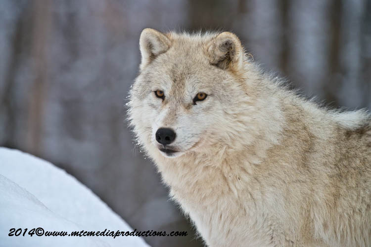Arctic Wolf Picture-1143