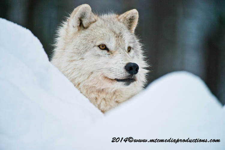 Arctic Wolf Picture-1144