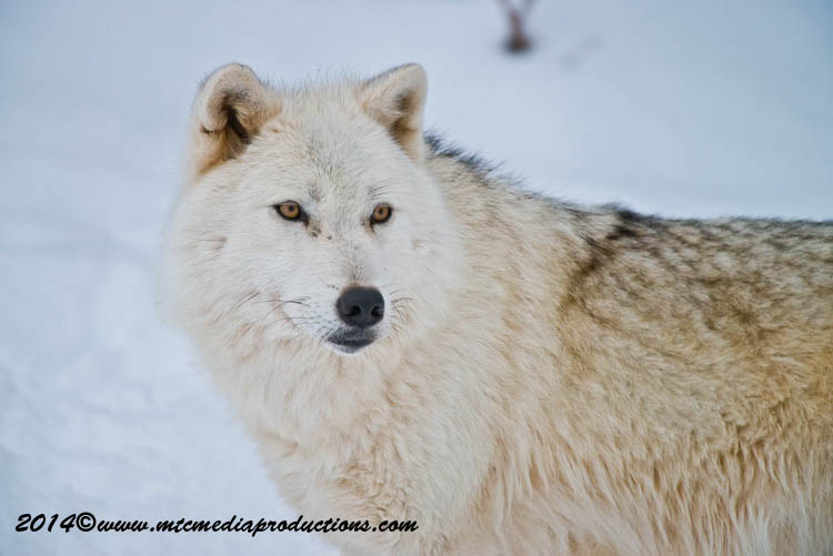 Arctic Wolf Picture-1145