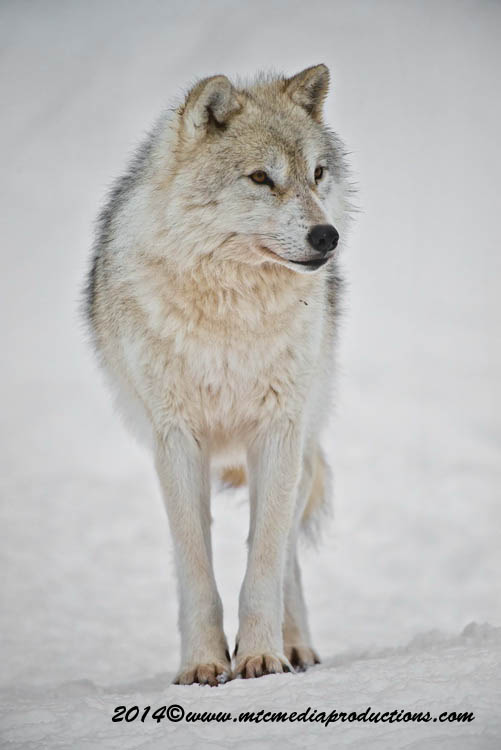 Arctic Wolf Picture-1146