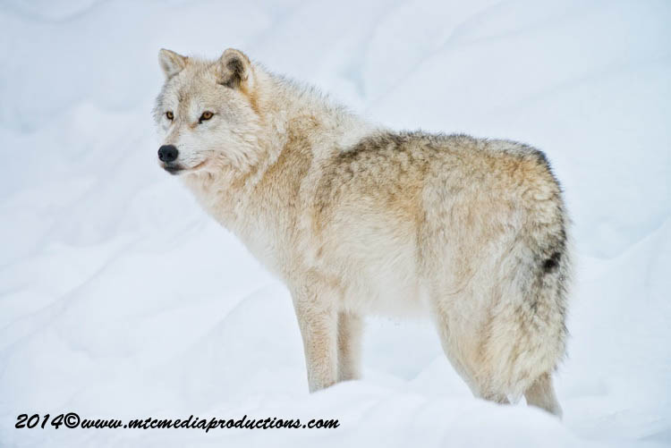 Arctic Wolf Picture-1147
