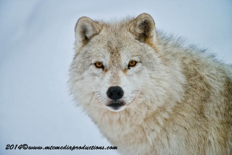 Arctic Wolf Picture-1148