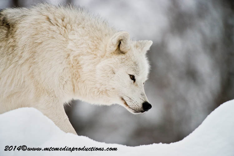 Arctic Wolf Picture-1149
