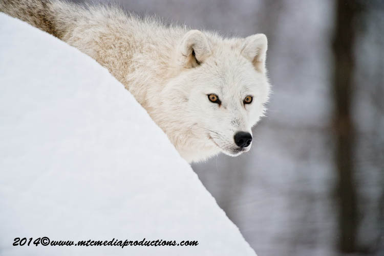 Arctic Wolf Picture-1150