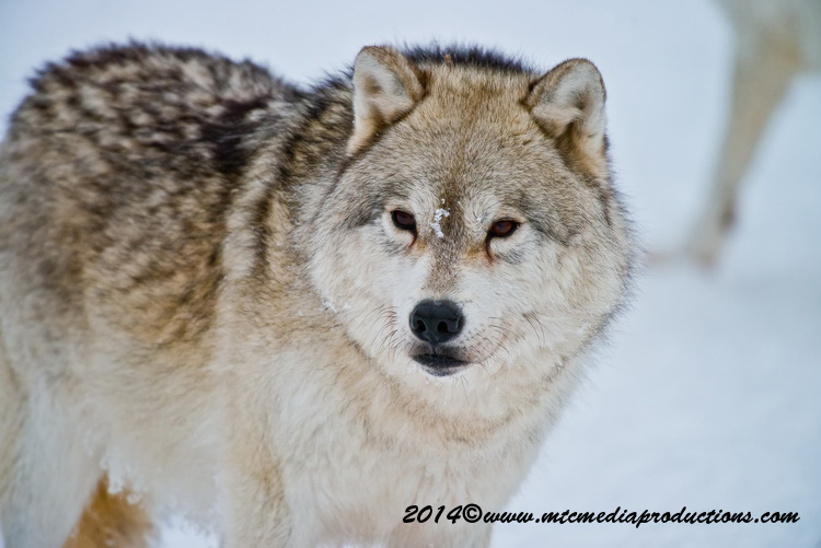 Arctic Wolf Picture-1151