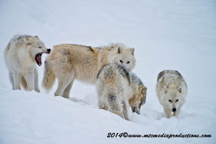 Arctic Wolf Picture-1152