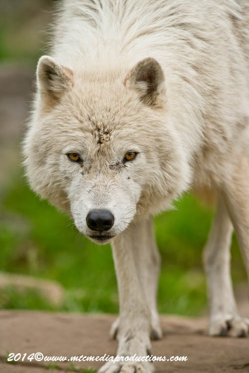 Arctic Wolf Picture-1153
