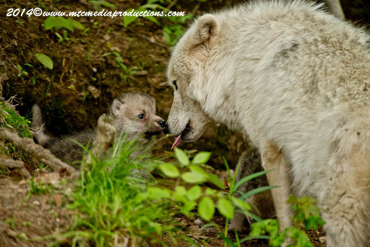 Arctic Wolf Picture-1154