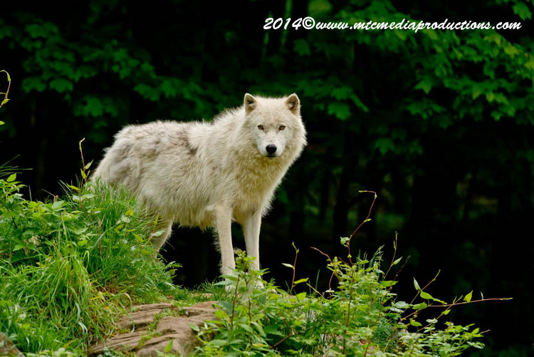 Arctic Wolf Picture-1155