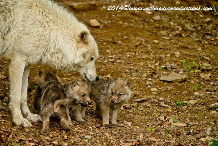 Arctic Wolf Picture-1156