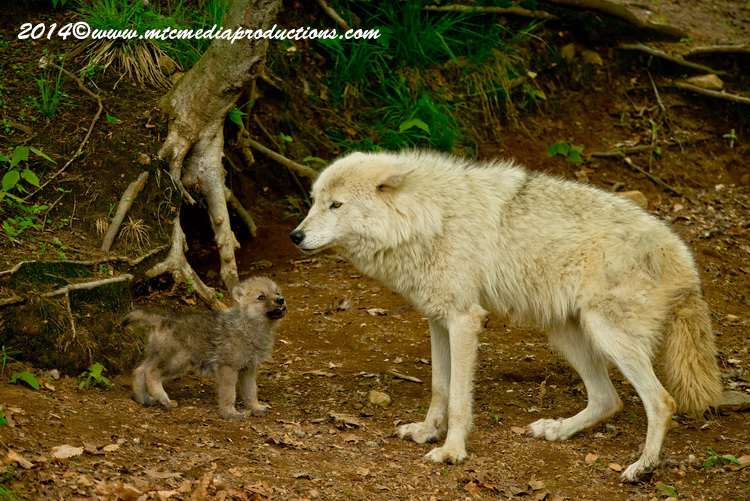 Arctic Wolf Picture-1157