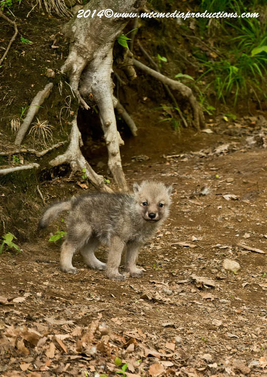 Arctic Wolf Picture-1158