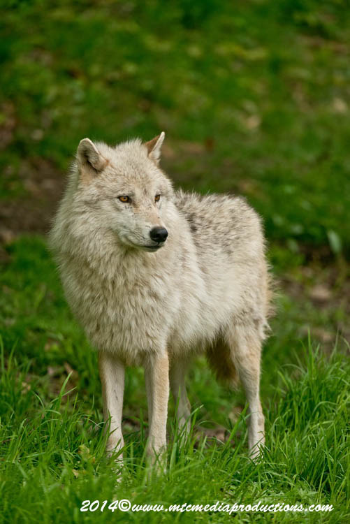 Arctic Wolf Picture-1159