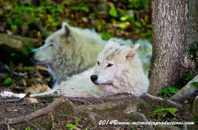 Arctic Wolf Picture-1160