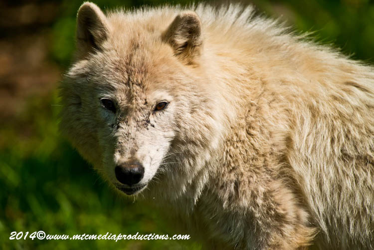 Arctic Wolf Picture-1161