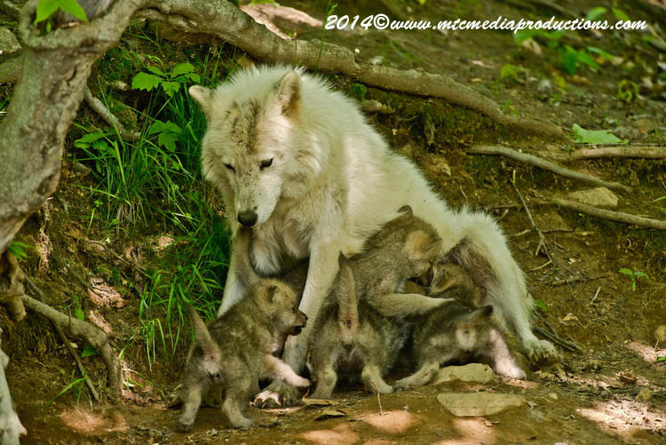 Arctic Wolf Picture-1162